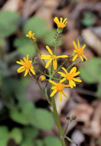 Probably Golden Ragwort (Packera aurea)