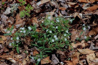 Star (Giant) Chickweed (Stellaria pubera)