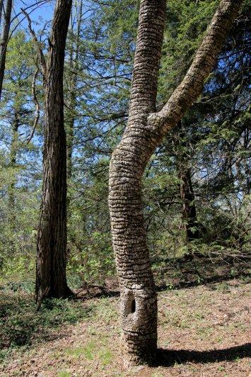 Sapsucker's favorite tree