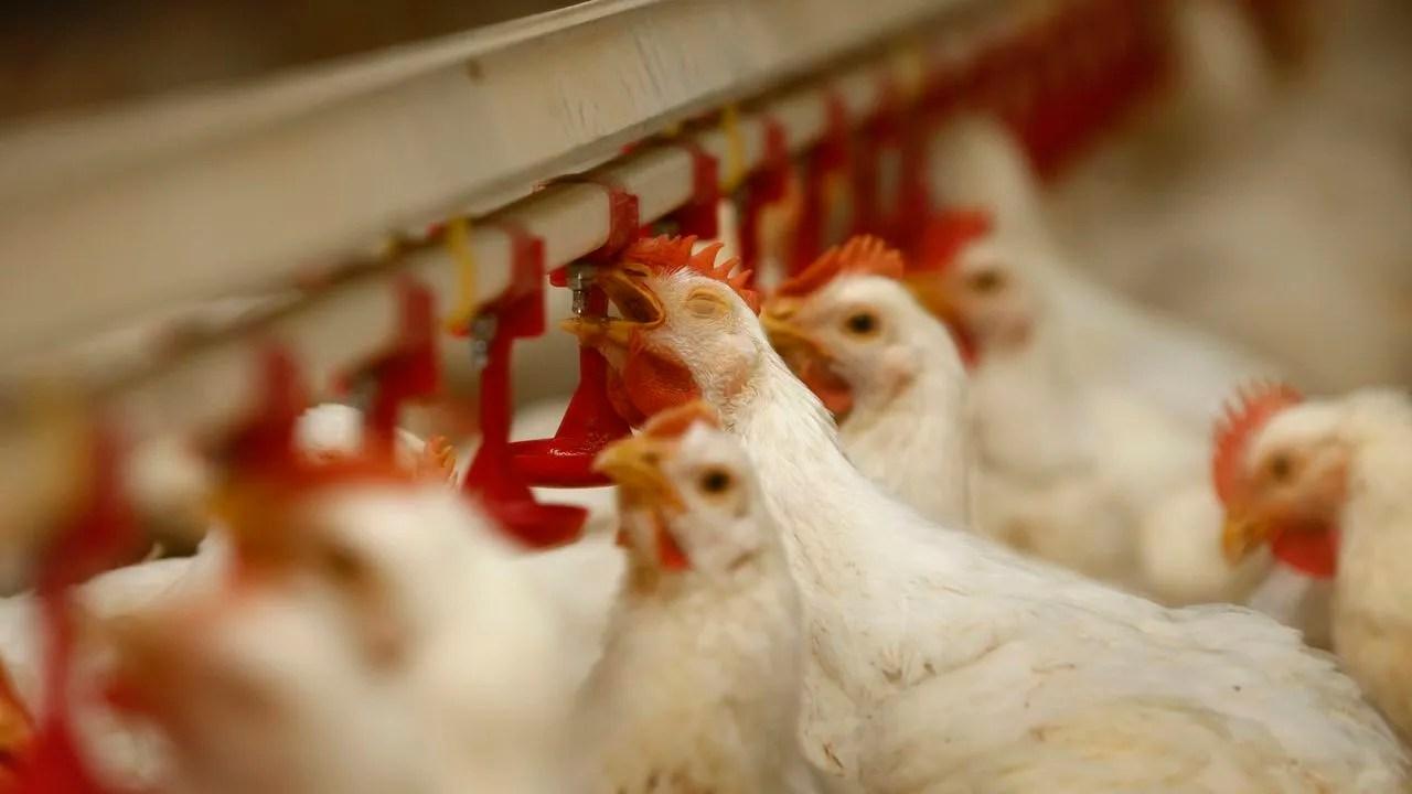 Las granjas de pollo que esperan licencia, en vilo por el decreto que  prepara Agricultura