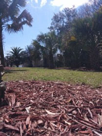 Ground-level view of a row of palm trees and mulch between complexes on South Campus.