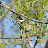 The amazing little Blackpoll Warbler