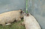 Curly Coated Pigs