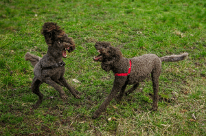 Dog on dog conflict and aggression between the same household residents