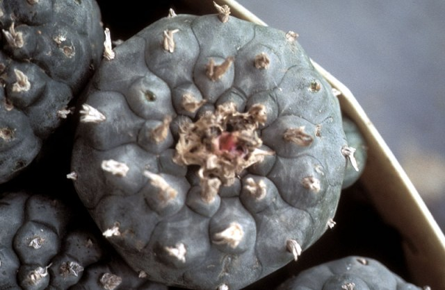 Peyote - South Texas. This peyote will be used for plant medicine.