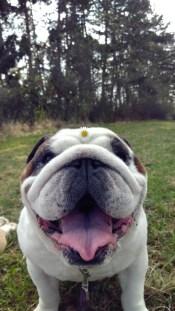 best-damn-photos-bulldog-flowers