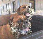 best-damn-photos-dogs-vs-porcupine