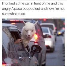 best-damn-photos-angry-alpaca-white