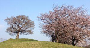 シンボルツリーと桜並木
