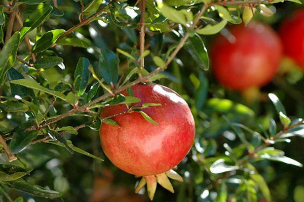 pomegranate anaar