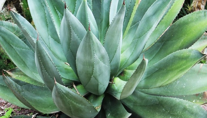aloe vera home remedies in hindi