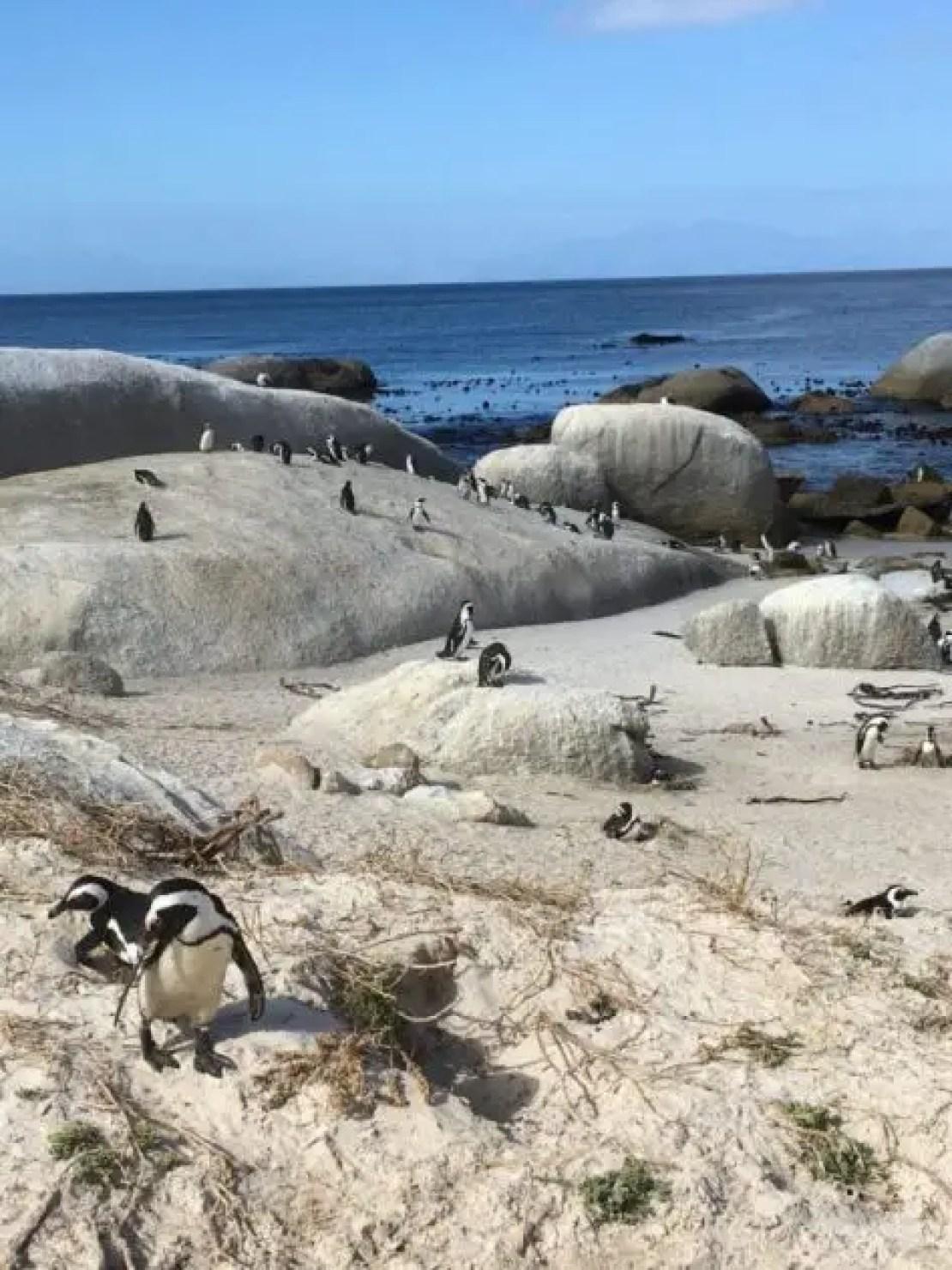 Penguins so many penguins