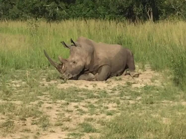 Rhino in the sabi sands