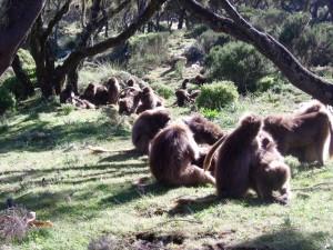 Gilada Baboons