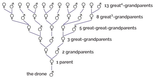 Family tree of honeybees