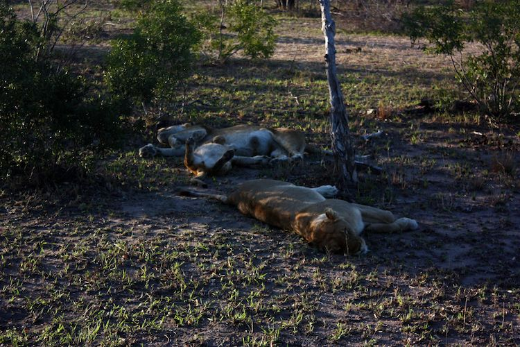 Chalkmarks Lions