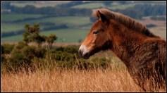 Wild Exmoor pony foal