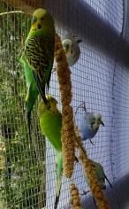 quelques perruches