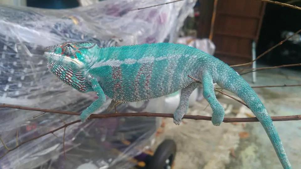 Travel with chameleons