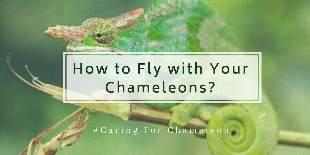 Fly with chameleon