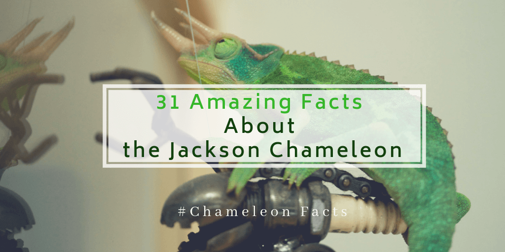 31 Amazing Facts About the Jackson Chameleon