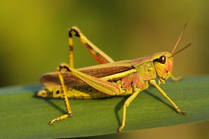 Saranče luční (Chorthippus montanus)