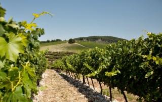 Solaia vinyard