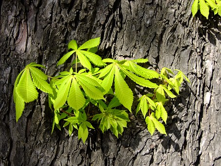horse-chestnut-leaves-1122240__340