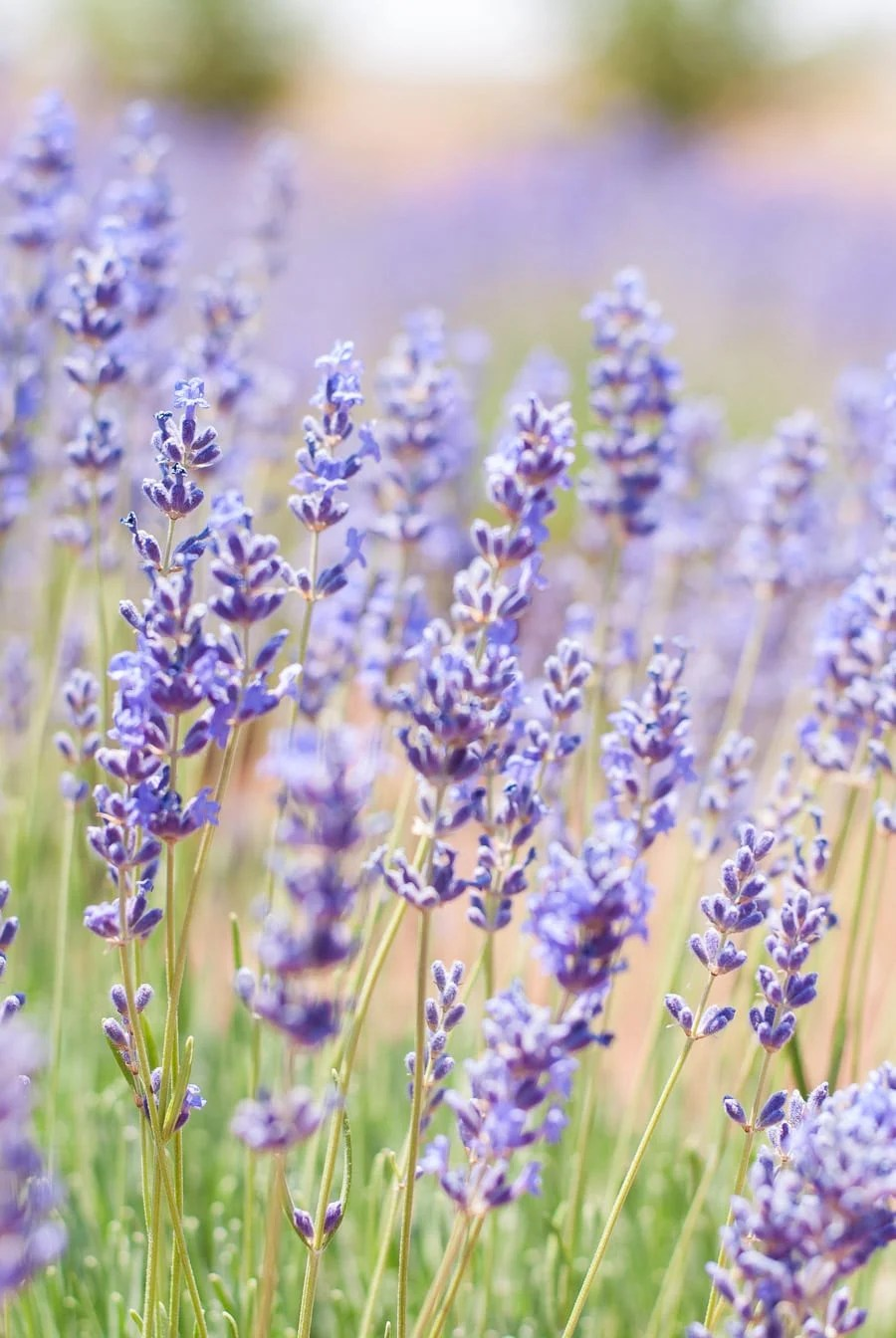 Mini Guide: How to Harvest & Use Culinary Lavender