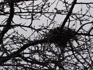Bird nest in the cherry orchard next doorPhoto: PK Read