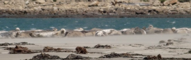 Harbor seals, Pt. Reyes Seashore The blurred aspect is due to large quantities of airborne sand. Photo: PK Read