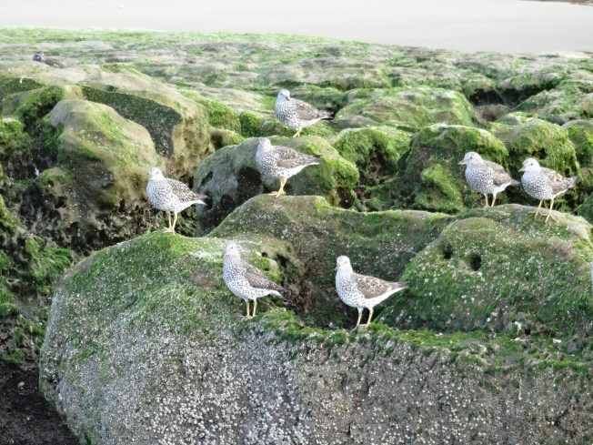 Birds on Drake's Beach at low tide Photo: PK Read