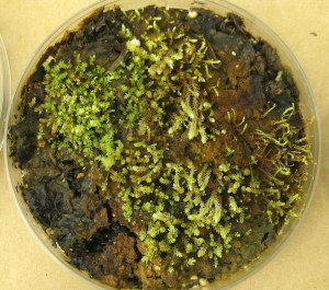 A moss (Aulacomnium turgidum), one of seven plants frozen under Teardrop Glacier roughly 400 years ago and induced to grow new stems and shoots in a lab.  Image: Catherine La Farge via Smithsonian Magazine