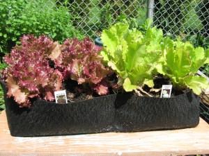 Lettuce in Grow Bags Image: GardenGirlCT