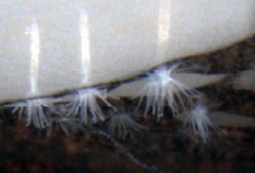 Close-up of ice anemones (Edwardsiella andrillae) living on the underside Photo: Frank Rack