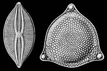 Selections from Ernst Haeckel's 1904 Kunstformen der Natur (Art Forms of Nature), showing pennate (left) and centric (right) frustules. Source: Wikipedia