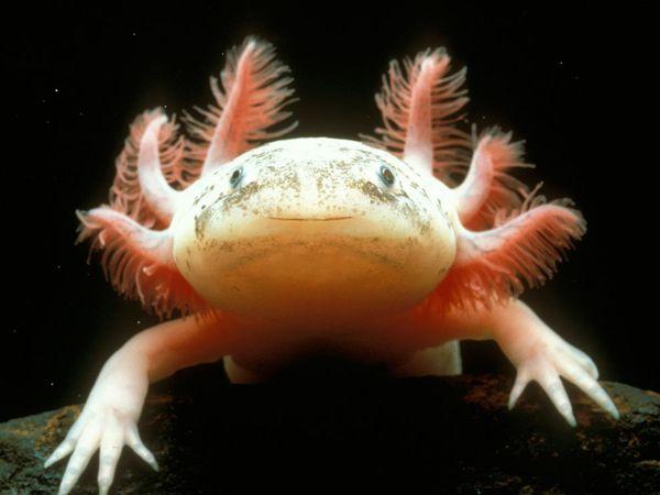 Axolotl (Ambystoma mexicanum) Source: National Geographic