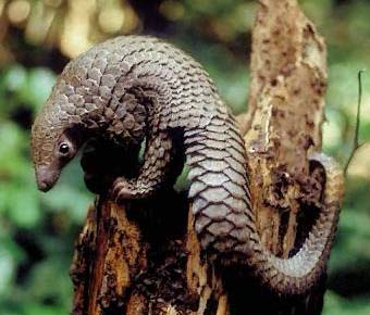 Pangolin Source: Our Beautiful World