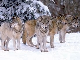 Group of gray wolves (Canus lupus)
