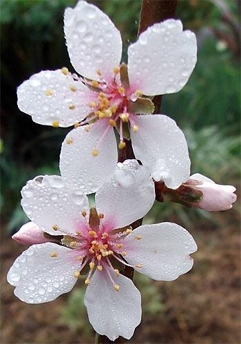 Almond blossom Photo: Golona
