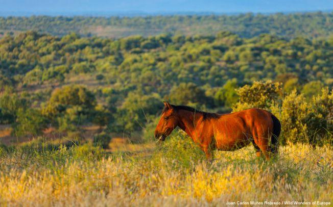 Caballo horse (Equus ferus caballus), Campanarios de Azaba Biological Reserve, Salamanca, Castilla y Leon, Spain Photo: Juan Carlos Muños Robredo / Rewilding Europe