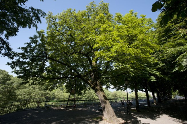 The Official Chestnut if full leaf. Source: City of Geneva