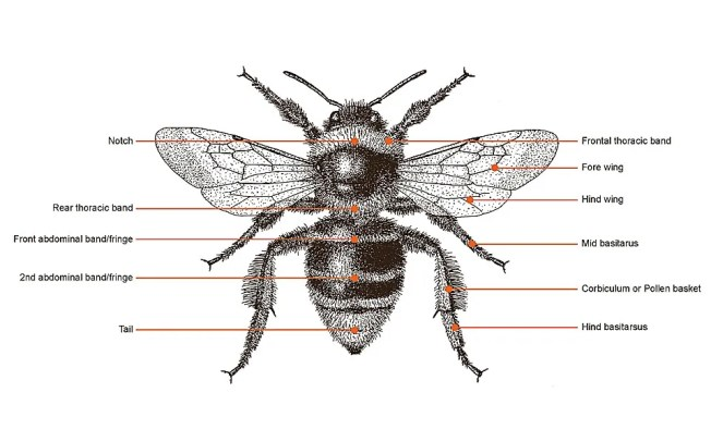 Illustration of Queen/worker Short-haired bumblebee Image: Geoff Allen / Short-haired Bumblebee Project