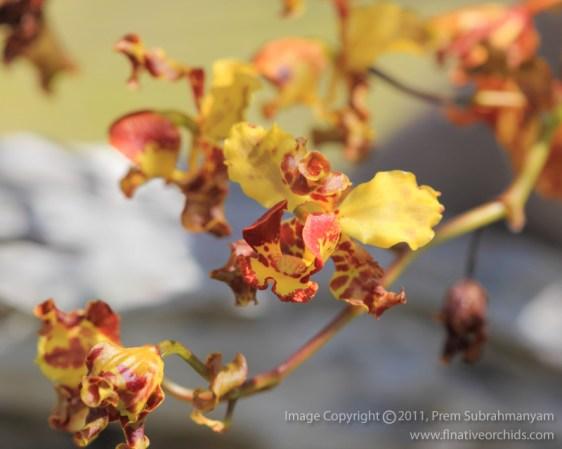 Cowhorn Orchid (Cyrtopodium punctatum) Photo: Florida Native Orchids