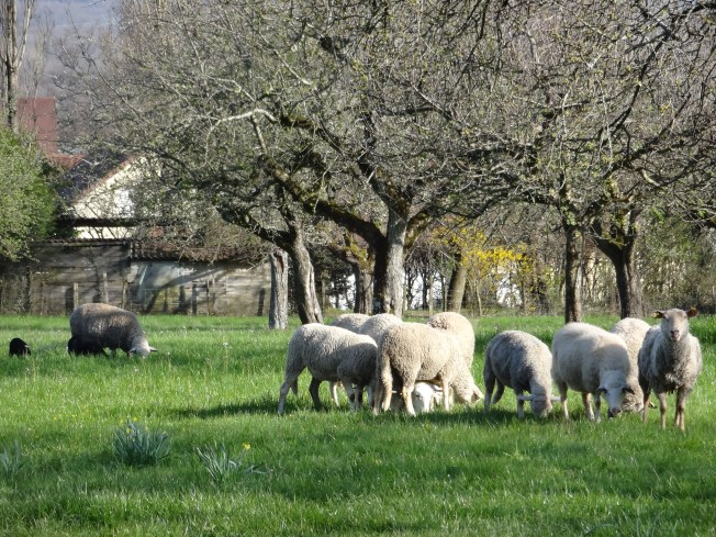 The sheep next door in the cherry orchard. Photo: PK Read
