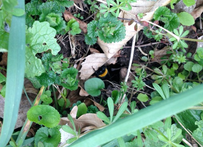 A bumblebee climbs out of a roadside nest. Photo: PK Read