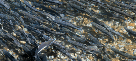 Pink salmon spawn in the Indian River, Sitka Valley, Alaska. Photo: National Park Service