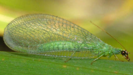 Adult green lacewing Source: LIR