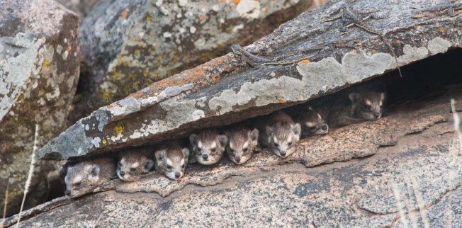 Rock hyraxes, Tanzania Photo: Frederico Veronesi