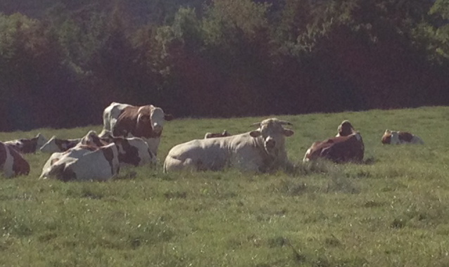 The local stud, that big white fellow in the middle, amongst a few of his admirers.